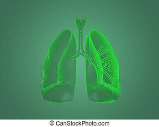 anatómia, röntgen, tüdő