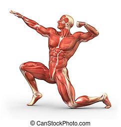 anatómia, rendszer, erős, ember