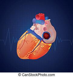 anatómia, szív, vektor, emberi