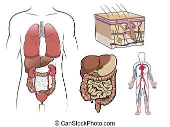 anatómia, vektor, emberi