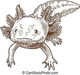 antik, metszés, ábra, axolotl