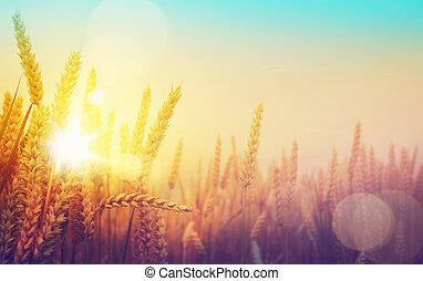 arany-, művészet, napos, mező, búza, nap