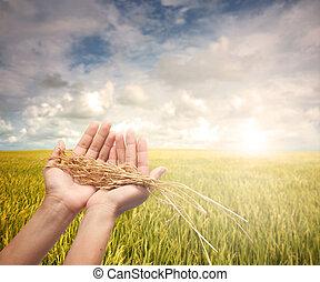 aratott, kezezés kitart, hántolatlan rizs