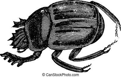ateuchus, ganajtúróbogár, aegyptiorum, vagy, metszés, szüret, előredől