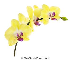 bíbor, backgrou, elszigetelt, sárga, virágzó, fehér, gally, orhidea