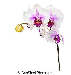 bíbor, elszigetelt, háttér., virágzó, fehér, gally, orhidea