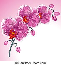 bíbor, orhidea