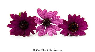 bíbor virág, három, százszorszép