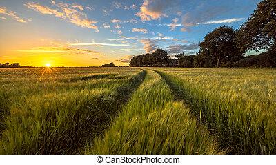 búza, útvonal, mező, napnyugta, át, traktor