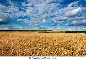 búza, cloudy ég, alatt, nagy, kék, mező, gyönyörű