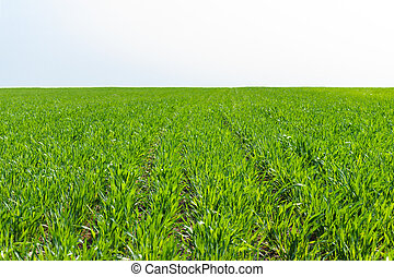 búza, eredet, napos, fiatal, mező, nap