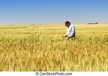 búza, farmer, durum, mező