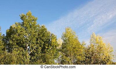 b betű, bitófák, ősz, nyárfa, alatt, felteker
