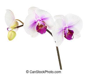 backgroun, bíbor, elszigetelt, virágzó, fehér, gally, orhidea