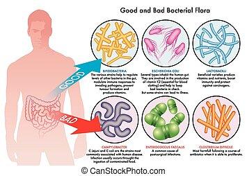 bacterial, növényvilág, bélre vonatkozó