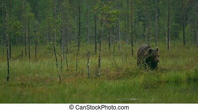 barna, gyalogló, erdő, szabad, nagy, hord, éjszaka, felnőtt