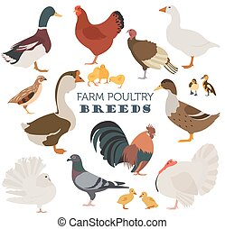 baromfi, lakás, állhatatos, elszigetelt, galamb, kacsa, gazdálkodás., csirke, tervezés, liba, pulyka, fürj, ikon, white.