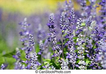 becsuk, mező, virág, feláll, levendula