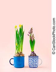 befőzött, jácint, duffodil, sápadt, bögrék, tea, háttér, virágzás, gumók, rózsaszínű