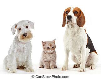 belföldi hím, állatok, három, macska