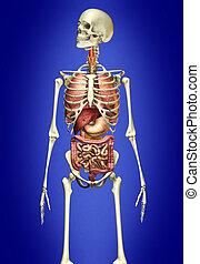 belső érzékszerv, csontváz, ember