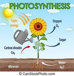 berendezés, kiállítás, fotoszintézis, ábra, eljárás