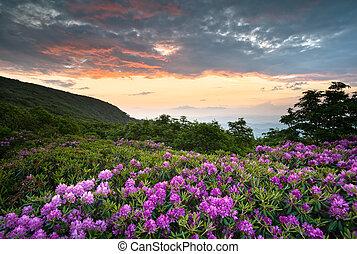 blue hegy, rododendron, hegygerinc, színpadi, eredet, felett, éc, napnyugta, asheville, appalachians, parkosított széles főközlekedési út, menstruáció, nyílik