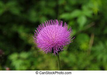 bogáncs, virágzás, finom, rózsaszínű