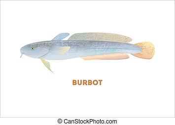 burbot, fish., elszigetelt