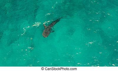 cápa, bálna, kék, világos, water., cebu, fülöp-szigetek