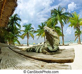 caribbean, mexikó, tengerpart., iguana