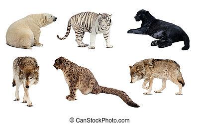 carnivora, felett, elszigetelt, állhatatos, mammal., fehér