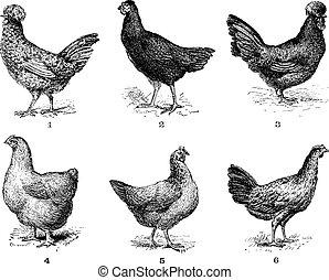 chicken., 5., crevecoeur., tyúk, csirke, 6., arrow., 4., kokin, 2., szüret, 1., 3., hen., dorking, houdan, engraving., bresse, asszonyok