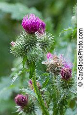 closeup, függőleges, bogáncs, külső, virágzó