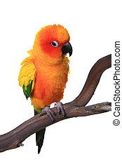 conure, nap, kifulladt, madár, papagáj