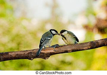 csöcs, nagy, élelmezés madár