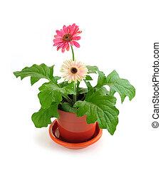 cserepes növény, white háttér