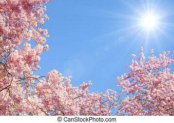 cseresznye, virágzás, bitófák, nap