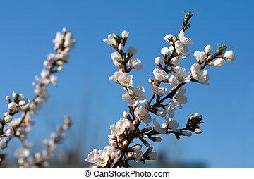 cseresznye, virágzó