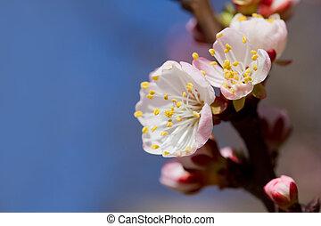 cseresznye, white virág