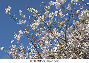 cseresznyefa, kivirul