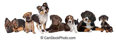 csokoládé, háttér., shetland, hegy, helyes, tacskó, kisméretű, fajta, bal, kutyus, német, nagy hím, csoport, pásztor, kevert, sheepdog, bernese, vizsla, pisze orr, labrador, fehér