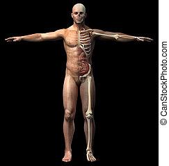 csontváz-, diagram., hangerők, belső, ember