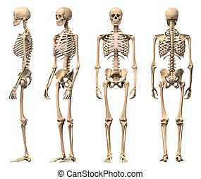 csontváz, hím, rendering., helyesbít, tudományos úton, nézet, darabka, elülső, négy, hát, emberi, included., perspective., út, photorealistic, 3-d, lejtő
