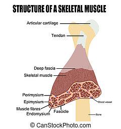 csontváz-, izom, szerkezet