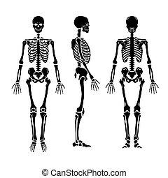 csontváz, positions., három, emberi, anatómiai