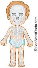 csontváz- rendszer, emberi, fiú