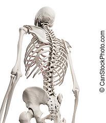csontváz-, -, rendszer, mellkas