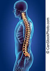 csontváz, -, rendszer, spine., emberi, röntgen