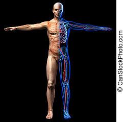 csontváz-, system., ábra, belső, ember, hangerők, röntgen, cardiovascular